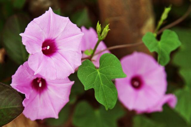 植物の栽培について アサガオの育て方