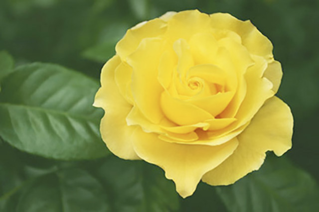 バラの鉢植えでの育て方のコツ