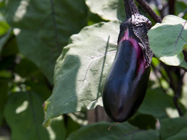 なすびの栽培やナスの育て方やその種まきについて