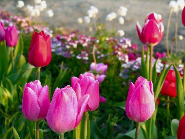 春の風物詩 チューリップの育て方について
