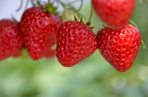 イチゴの育て方について