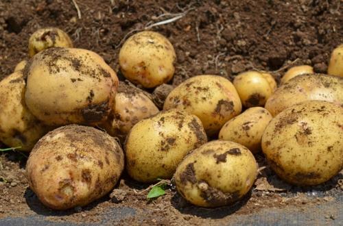 ジャガイモの育て方と植え付けからの仕事
