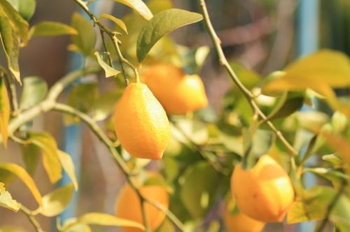 レモンの育て方