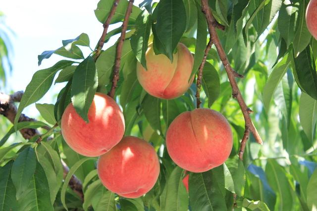 桃の育て方