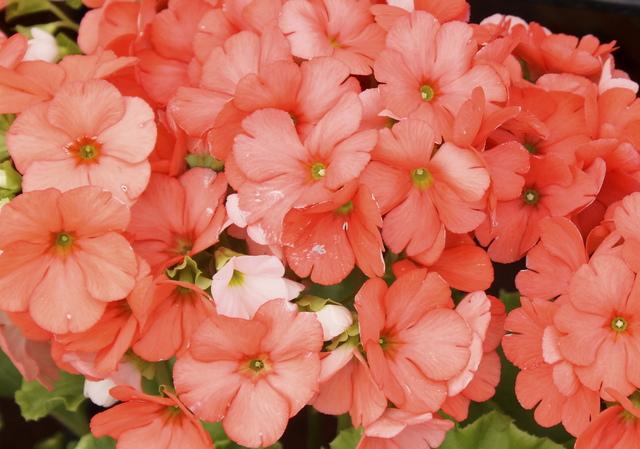 サクラソウ科の花・プリムラの栽培方法