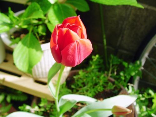 チューリップの栽培の仕方