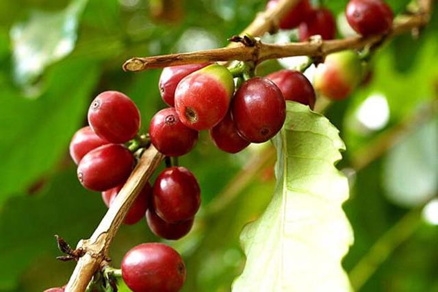 コーヒーノキ(Coffea arabica)の育て方
