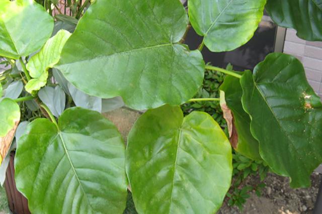 フィクス・ウンベラタ(フィカス・ウンベラータ)(Ficus umbellata)の育て方