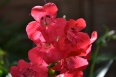 pixta_penstemon