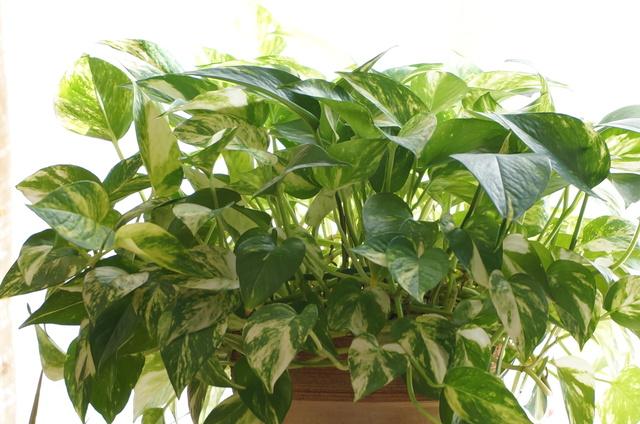 ポトス(Epipremnum aureum)の育て方