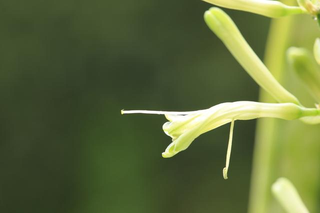 サンセベリア(Sansevieria)の育て方