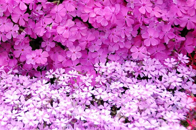 方 育て 芝 桜 芝生の手入れ(育て方)