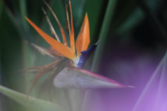ストレリチア(Strelitzia reginae)の育て方