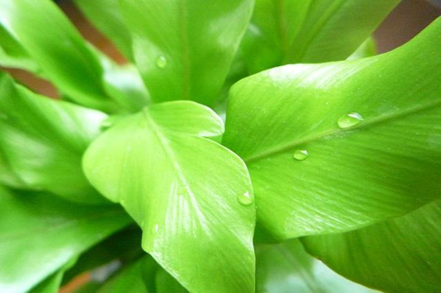 アスプレニウム(Asplenium spp.)の育て方
