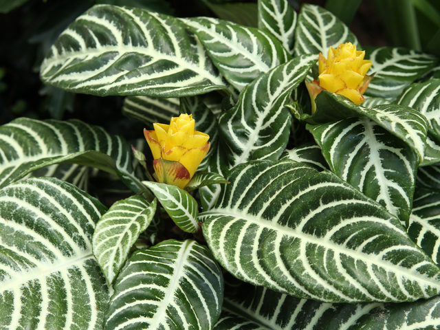 アフェランドラ・スクアロサ'ダニア'(Aphelandra squarrosa 'Dania')の育て方