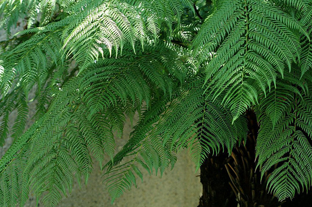 ディクソニア(Dicksonia antarctica)の育て方
