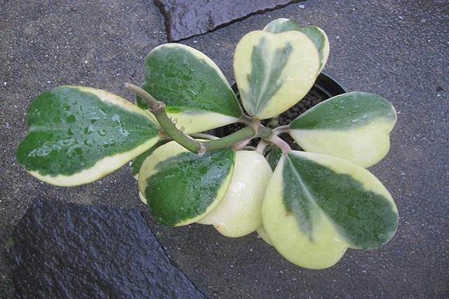 ホヤ属(Hoya ssp.)の育て方