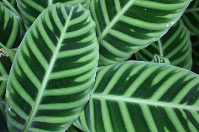 カラテア(Calathea ssp.)の育て方