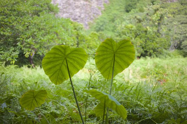 クワズイモ(Alocasia odora)の育て方