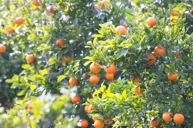 オレンジ類の育て方