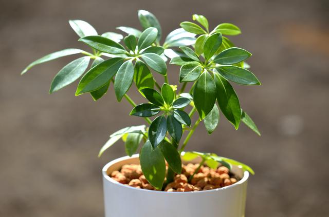 シェフレラ・アルボリコラ(Scefflera arboricola)の育て方