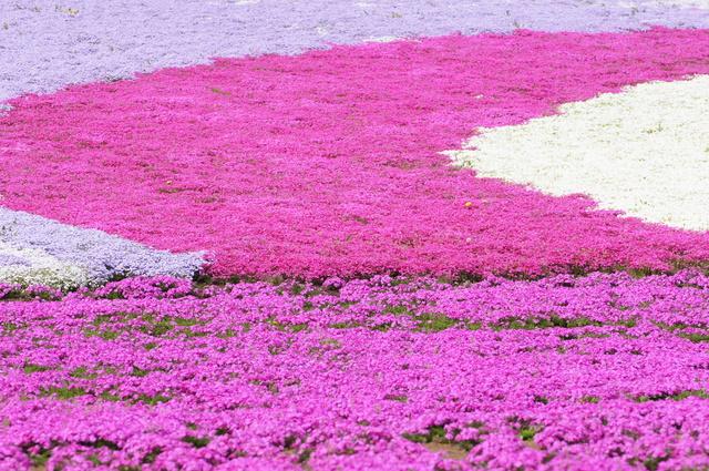シバザクラ(芝桜)の育て方