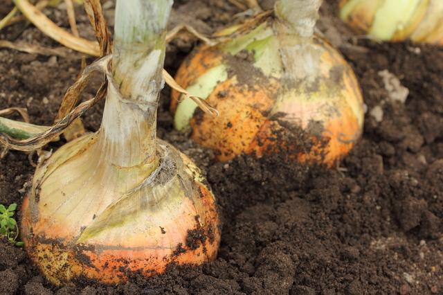 たまねぎと夏野菜の育て方
