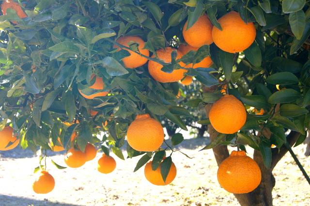 柑橘類(交雑品種)の育て方