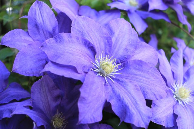 クレマチス(四季咲き)の育て方