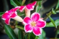 tropical flower pink adenium. Desert rose