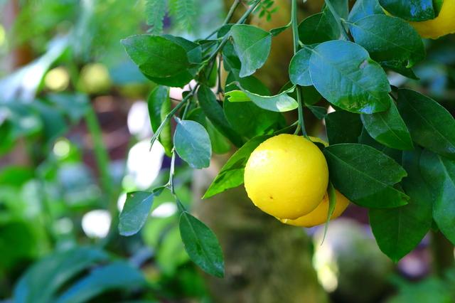 グレープフルーツの育て方