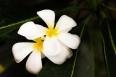Plumeria,white flower.