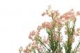 pixta_riceflower