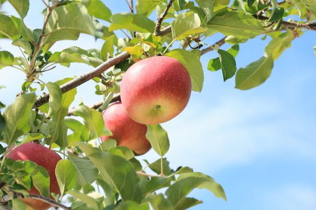 リンゴの育て方