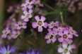 pixta_waxflower